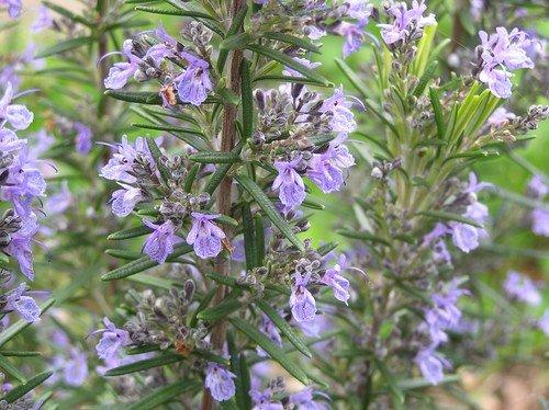 apicultureromarinabeillemellifereplanteromarin.jpg