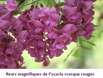 fleursacaciarose340x256.jpg