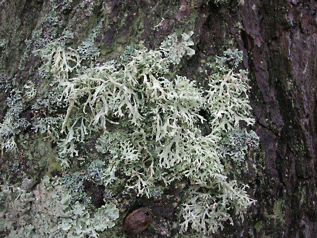 lichen2ts5.jpg