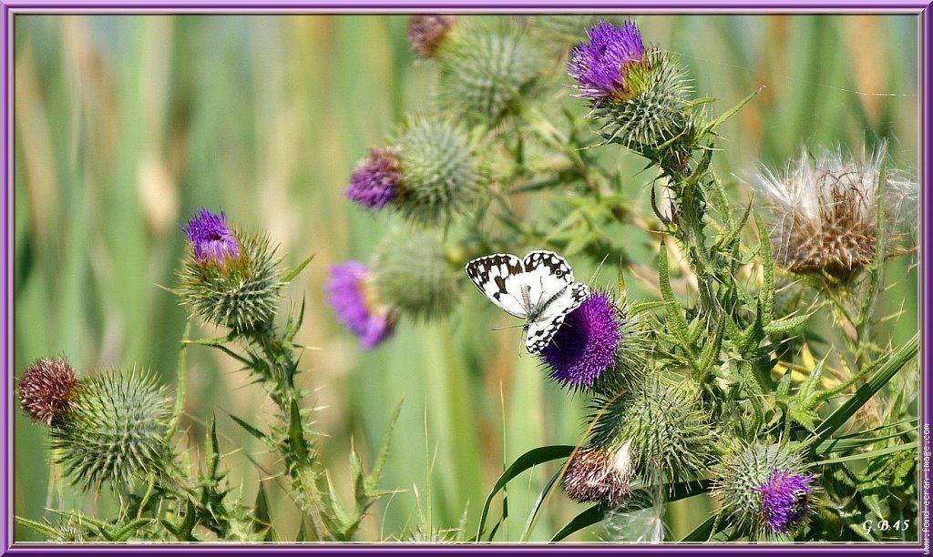 chardonetpapillon.jpg