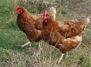 poules11