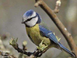 mesange-bleue-fiche-poeme-300x225
