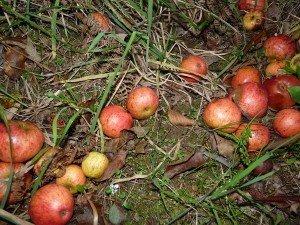jus-de-pomme-ramassage0-300x225