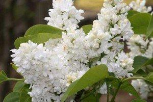 lilas-blanc-300x200