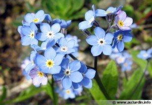 myosotis-fleur-540x375-300x208