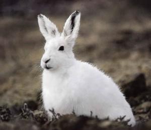 - 19 Ter - Jean-Louis MURAT ... et la nature sous toutes ses formes dans ses chansons ... (4ème partie)  ... lapin-arctique-300x259