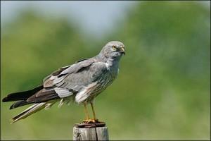 faucon cendré