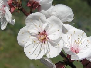 fleur abricot