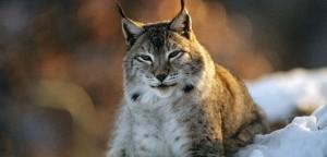 Eurasian Lynx - Lying down in snow  (Lynx lynx)