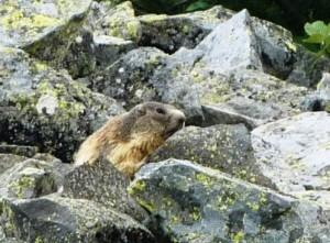 marmottes-au-puy-de-chambourguet