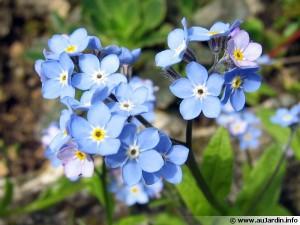 myosotis-fleur-600x450